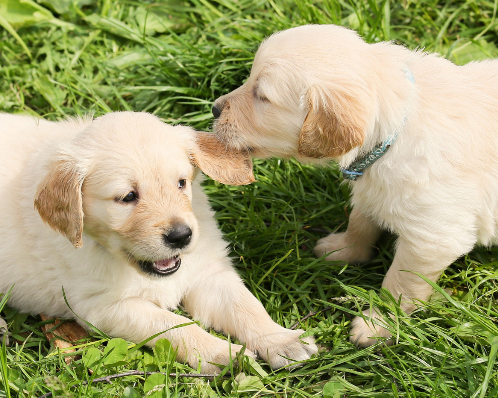 Two puppies playing