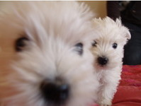 Westieworld - Dogs And Puppies