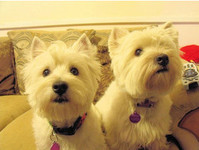 bigglesworthwesties - Dogs And Puppies