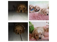 F1 Cavapoo breeders - Dogs And Puppies